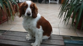 The Welsh Springer Spaniel Photo#4