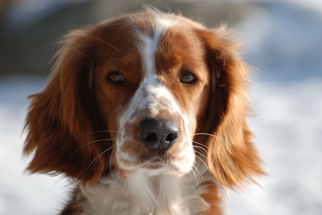 The Welsh Springer Spaniel wallpapers HD