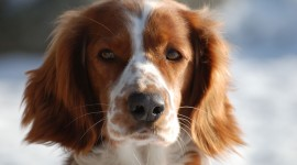 The Welsh Springer Spaniel Wallpaper