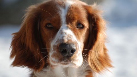 The Welsh Springer Spaniel wallpapers high quality