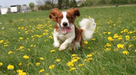 The Welsh Springer Spaniel Wallpaper Full HD