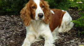The Welsh Springer Spaniel Wallpaper HQ