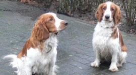 The Welsh Springer Spaniel Pics#2