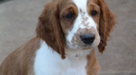 The Welsh Springer Spaniel Pics#1