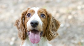 The Welsh Springer Spaniel Wallpaper#1