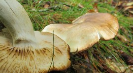 Tricholoma Saponaceum Best Wallpaper