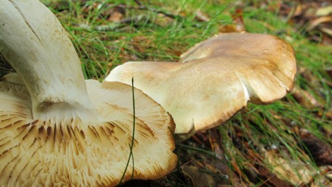 Tricholoma Saponaceum wallpapers high quality