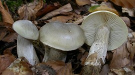 Tricholoma Saponaceum Photo#1