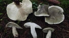 Tricholoma Saponaceum Pics#2