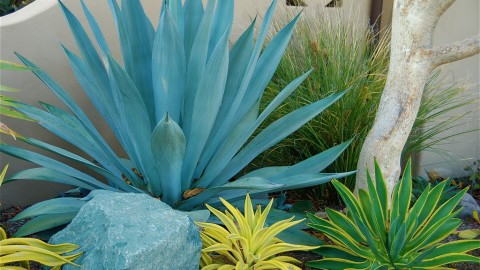 Agave Americana wallpapers high quality