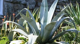 Agave Americana Wallpaper Full HD