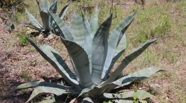 Agave Americana Wallpaper HQ#1