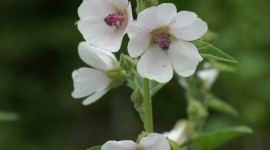Althaea Officinalis Wallpaper For Mobile#2