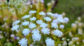 Ammi Majus Best Wallpaper