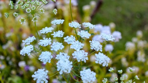 Ammi Majus wallpapers high quality