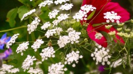 Ammi Majus Desktop Wallpaper HD