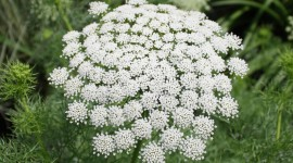 Ammi Majus Photo
