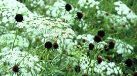 Ammi Majus Photo Download