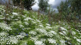 Ammi Majus Photo Download#1