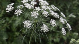 Ammi Majus Photo Free
