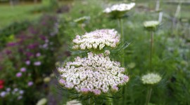 Ammi Majus Photo Free#1