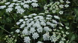 Ammi Majus Photo#1