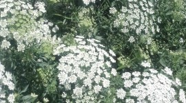 Ammi Majus Wallpaper For Android