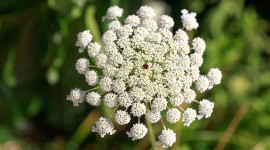 Ammi Majus Wallpaper For Desktop