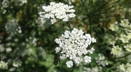 Ammi Majus Wallpaper For IPhone#1