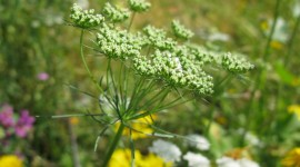 Ammi Majus Wallpaper Full HD#1
