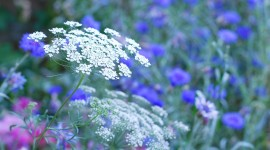 Ammi Majus Wallpaper Gallery
