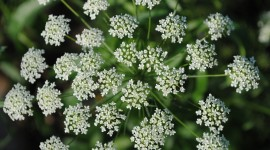 Ammi Majus Wallpaper HQ#1
