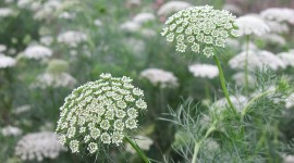 Ammi Majus Wallpaper HQ#2