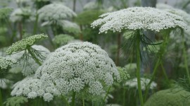 Ammi Majus Wallpaper HQ#3