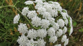 Ammi Majus Wallpaper#1