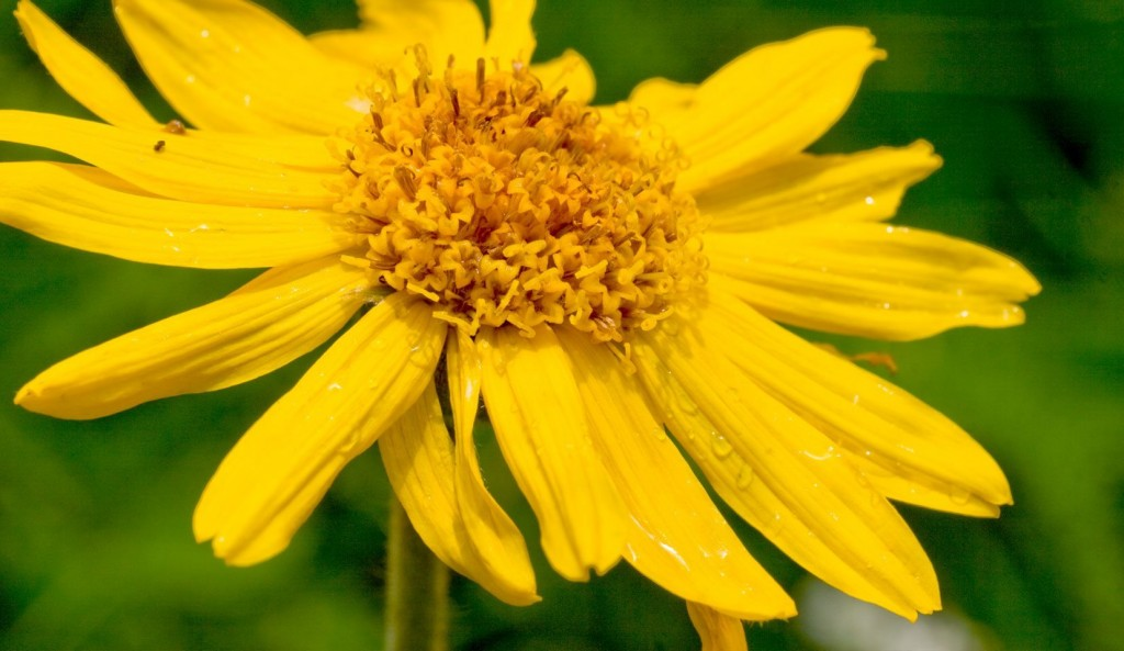 Arnica Montana wallpapers HD