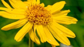 Arnica Montana Best Wallpaper