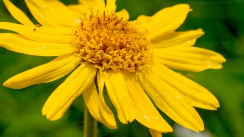 Arnica Montana wallpapers high quality