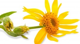 Arnica Montana Desktop Wallpaper HD