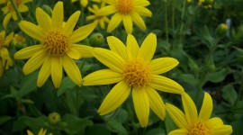 Arnica Montana Photo Download