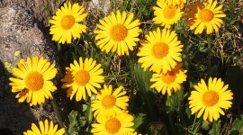 Arnica Montana Photo Download#1