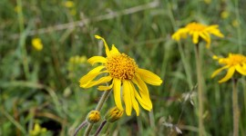 Arnica Montana Wallpaper Download