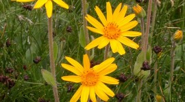 Arnica Montana Wallpaper For Android