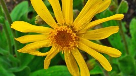 Arnica Montana Wallpaper For Mobile