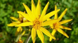 Arnica Montana Wallpaper For PC