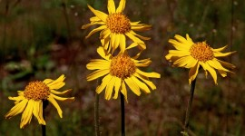 Arnica Montana Wallpaper Full HD