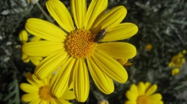 Arnica Montana Wallpaper Gallery