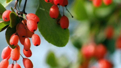 Berberis Vulgaris wallpapers high quality