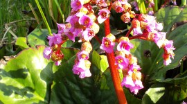 Bergenia Crassifolia Wallpaper For Android#1