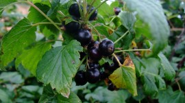 Black Currant Desktop Wallpaper HD